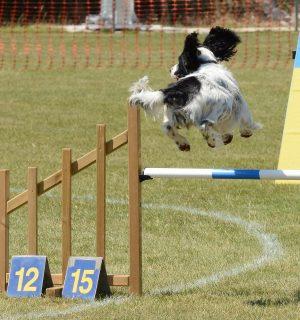 https://www.dogteam-leibnitz.at/wp-content/uploads/2021/02/spaniel-dog-4048829_1920-agility-300x320.jpg